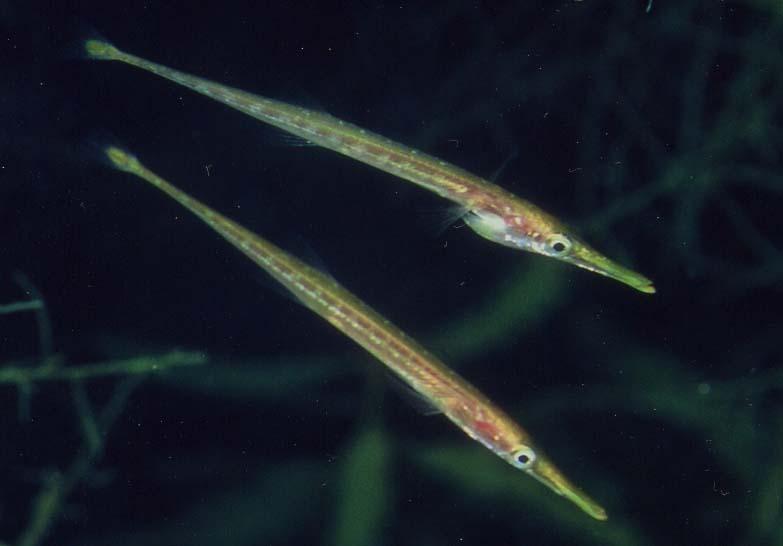 http://natechertack.com/fishes/gasterosteiformes/sand783-546.JPG