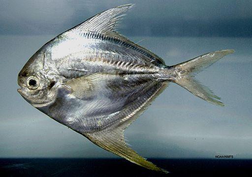 http://natechertack.com/fishes/stromateoidei/butter800-561.jpg